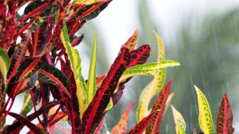 Red Green Leaf